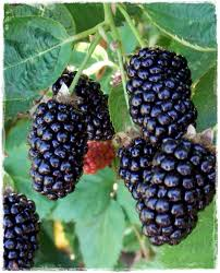 Image result for Boysenberry images