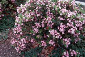 Tall Shrub With Pink Flowers Part  26 The Trees U0026 Flowers Of Shrub With Pink Flowers