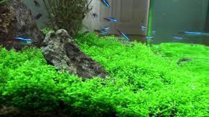 Aquarium Carpet Plants Low Light Carpet Plants For Low Light Aquarium 9 Best Freshwater