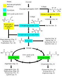 20 Amino Acids Chart Pdf Amino Acid Synthesis Wikipedia