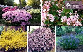 the most perfect perennial shrubs for