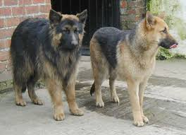 short and long haired german shepherd dogs