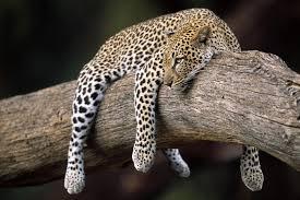 full hd animal wallpapers. Modren Full 1999x1333 Sleeping Leopard HD Animal Wallpaper To Full Hd Wallpapers N