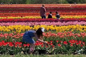 the holland ridge tulip farm in new jersey photo courtesy of holland ridge farms