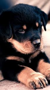 puppy iphone wallpaper. Interesting Wallpaper Preview Wallpaper Puppy Rottweiler Cute Baby To Puppy Iphone Wallpaper E