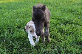baby mini horse. Simple Horse An Orphaned Baby Horse And His Puppy Best Friend Throughout Baby Mini Horse