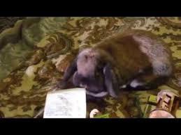New Rabbit Ava Holland Lop & Small Petco Haul - YouTube