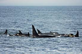Seattle Whale Watching Guide 2019 Clipper Vacations