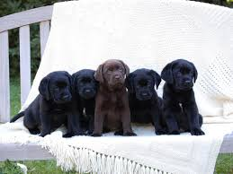 lab puppy wallpapers. Simple Puppy Black Lab Puppy Wallpapers  Wallpaper Cave Intended P