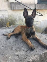 Puppy Growth Chart Olaf Berger Malinois Male