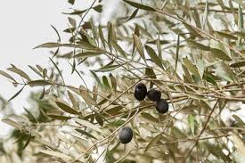 Osmanthus Devilwood Wild OliveWild Olive Tree Fruit