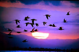 Image result for bird migration