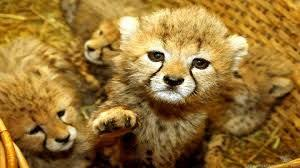 wild baby animal wallpaper. Fine Baby Image Result For Wild Animals Wallpapers High Resolution To Wild Baby Animal Wallpaper B