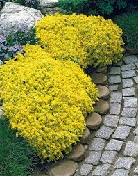 the genus sedum has a diverse group of ornamental succulent plants you can grow low growing sedums as a ground cover in full sun and well drained soil