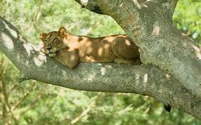 """Résultat de recherche d'images pour """"gorille  se prélasse dans un arbre"""""""
