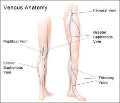Short Saphenous Vein Anatomy Google Search Great