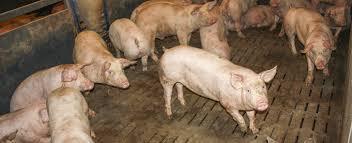 Взгляд изнутри Свинокомплекс com На свинокомплексе строго придерживаются схемы вакцинации и профилактики таких распространенных заболеваний свиней как классическая чума рожа свиней