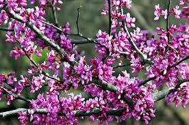 average american flower size flowering trees tree growing birds blooms