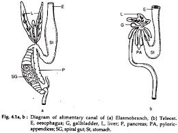 Digestive System In Fishes With Diagram