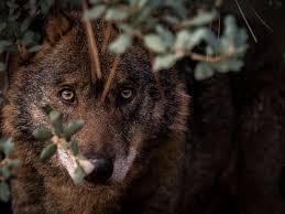 Tipos de Lobos y sus Características - Lista Completa (CON FOTOS)