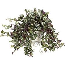 Image result for Wandering Jew Plants