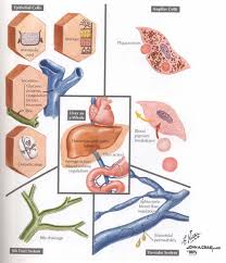 Liver Damage Symptoms The Effects Of Long Term Stress On