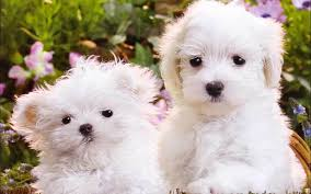 cute white puppies wallpaper. Contemporary White Inside Cute White Puppies Wallpaper