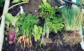 fall garden vegetables. fall-garden-vegetables-harvest fall garden vegetables g
