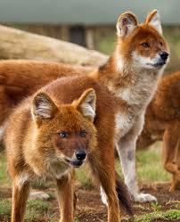 Small Picture 50 best Dhole images on Pinterest Wild dogs Animals and Wild