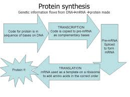 Protein Synthesis Flow Chart Key Matter Of Fact Protein Synthesis Flow Chart Worksheet