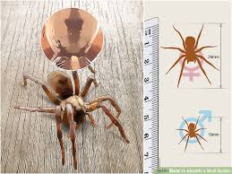 Spider Web Identification Chart How To Identify A Wolf Spider 12 Steps With Pictures
