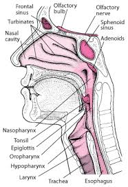 Nose And Throat Diagram Get Rid Of Wiring Diagram Problem