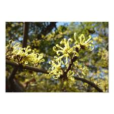 witch hazel flowers photo print