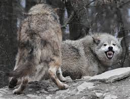 grey wolf size the gray wolf sounds and downloads