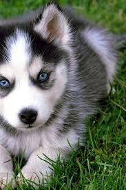 cute husky puppies with blue eyes. Interesting Blue Blue Eyed Husky Pup For Cute Husky Puppies With Eyes U