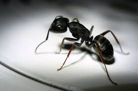 natural remedy ants