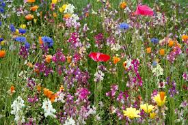 um12 purple glade perennial wildflower mix