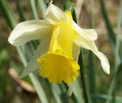 thinking about love the myth of narcissus psychology today narcissus pseudonarcissus or daffodil