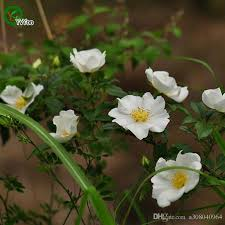 2018 cherokee rose seeds rare flower seeds diy home garden plant easy to grow 50 particles h08 from a308040964 0 81 dhgate