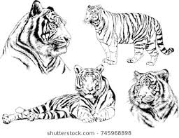 tiger drawing pictures. Fine Drawing Set Of Vector Drawings On The Theme Predators Tigers Are Drawn By Hand  With Ink In Tiger Drawing Pictures W