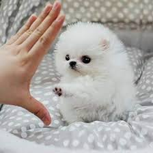free teacup pomeranian puppies. Brilliant Teacup Charming Teacup Pomeranian Puppies Foradoption Throughout Free O