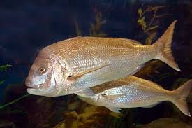 Australian Reef Fish Species Chart Australasian Snapper Wikipedia