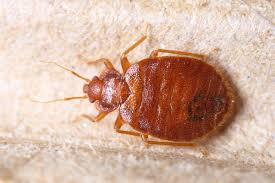 Bed Bugs In Bathroom Extraordinary What Do Bed Bug Droppings Look Like Terminix