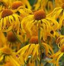 Images & Illustrations of helenium hoopesii
