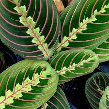 office plants no light. Maranta Leuconeura (Prayer Plant) Maranta-leuconeura_mini Office Plants No Light F