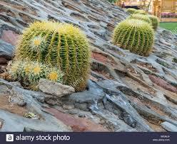 Cactus Succulent Landscape Design Golden Ball Cactus Echinocactus Grusonii Landscape Design