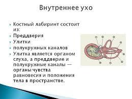 Без названия равновесно слуховой аппарат реферат по анатомии Орган слуха морфологически объединен с органом равновесия По этому принципу возникают равновесные пятна овального и круглого
