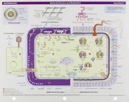 Memocharts Microbiology Bacterial Structure And Metabolism