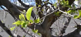 Prune Fruit Tree