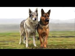 Wolf Vs Dog Size Chart German Shepherd Vs Wolf Difference And Comparison